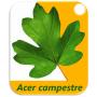 Logo Acer Campestre - Agricultura e Consultoria